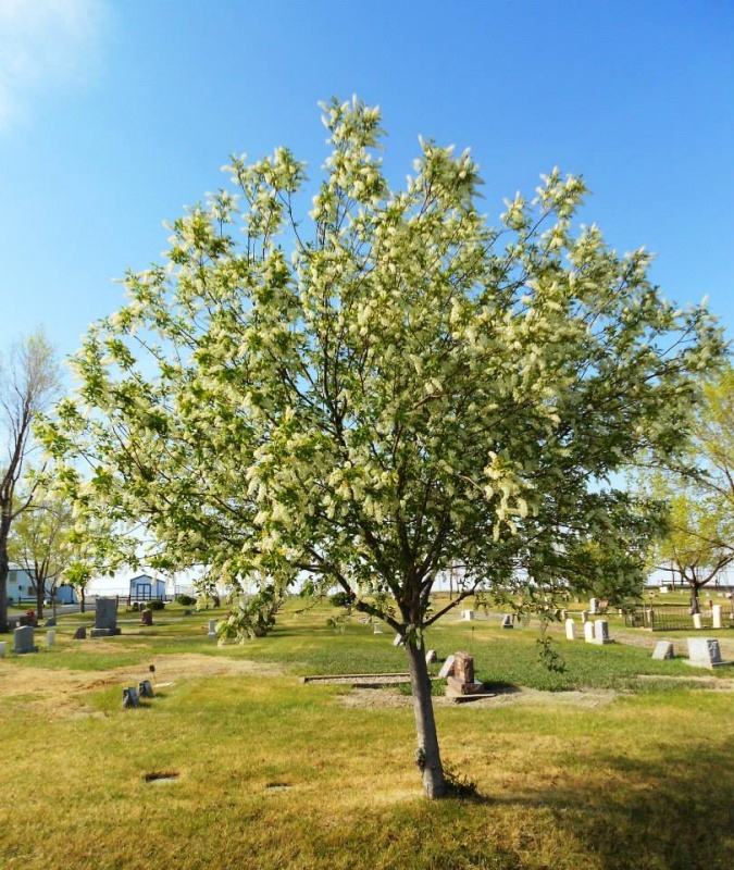 A Canadian Cherry in bloom at Shoshoni's Lakeview Cemetery (Photo by David Manchester)