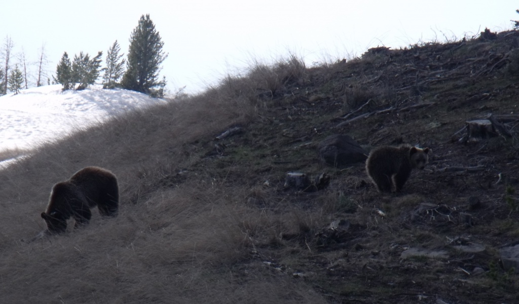 A sow grizzly bear and her cub were foraging for food Wednesday night near Wind River Lake on Togwotee Pass. Photo by Daryl Watson.
