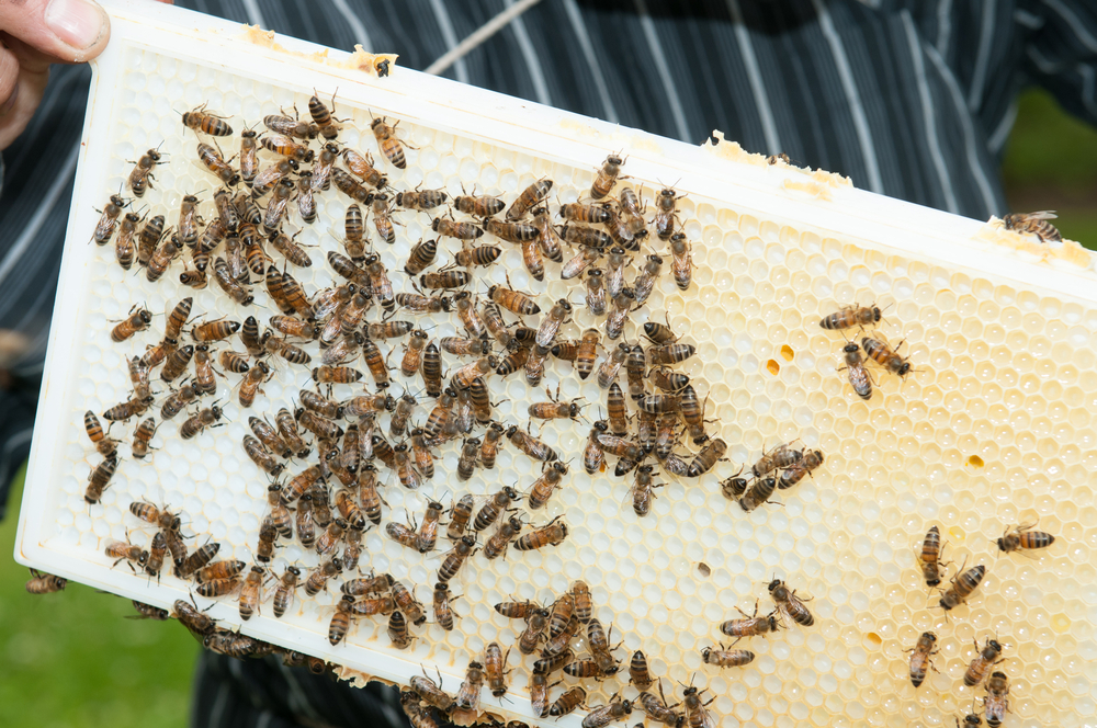 A top bar bee hive.  Image by bigmagic/Shutterstock.com