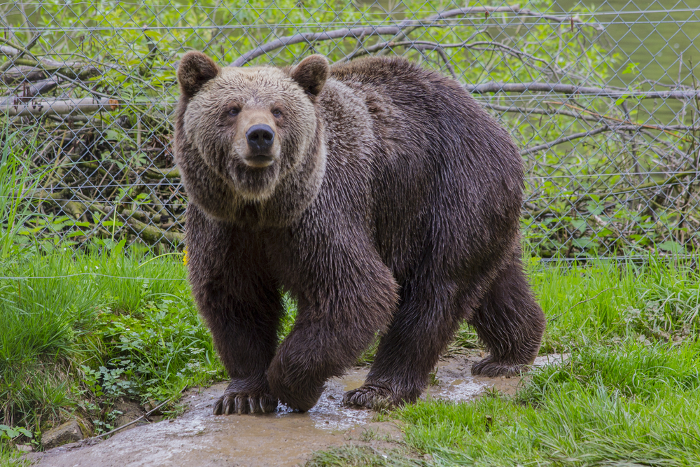 Grizzly bear file photo by BURDE Photography/Shutterstock.