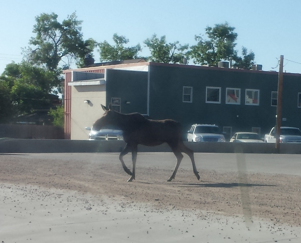 The moose behind Subway at about 8 a.m. this morning. Photo by Krista Lobera.