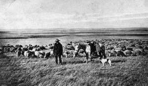 J. B. Okie's flocks had grown to 12,000 head by 1891. Wyoming Tales and Trails photo.