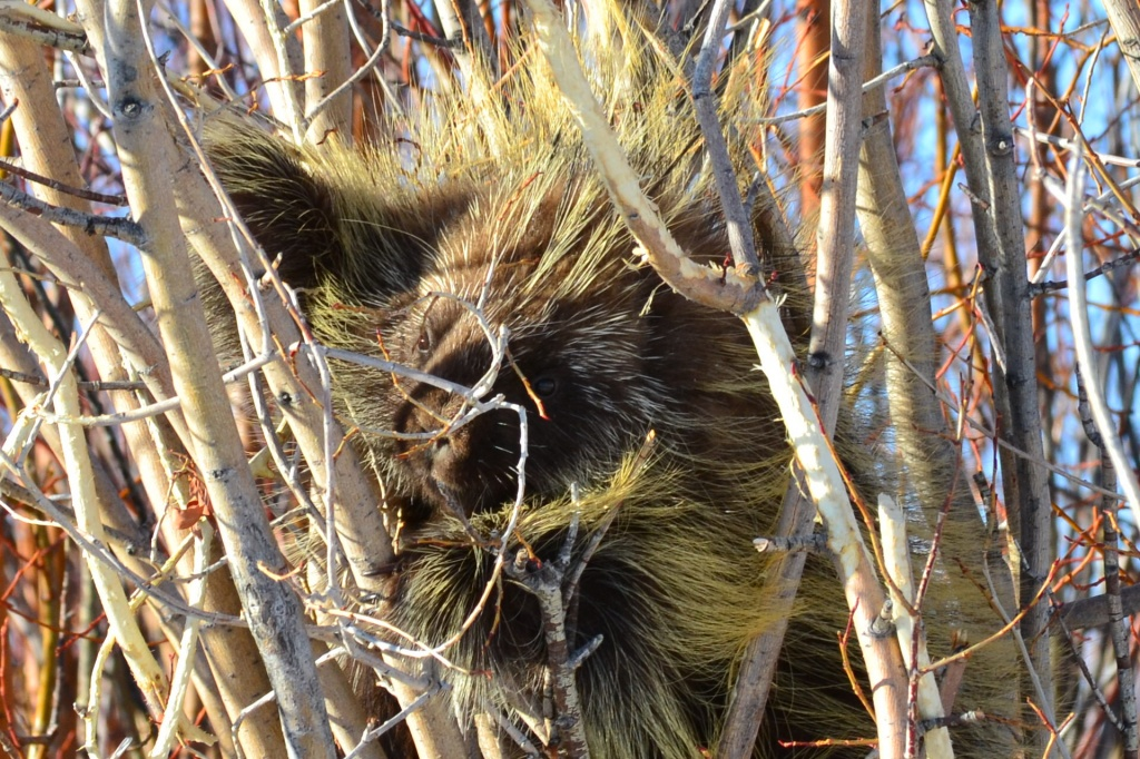 A willow bark munching porcupine was spotted  this past week by James Snook up on South Pass when returning from Pinedale.