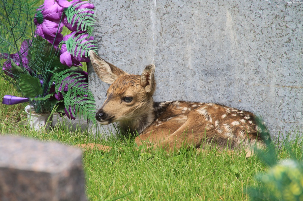 Kim Wilbert found a fawn resting next to a headstone in the Mountain View Cemetery and shared this image with County10.com.