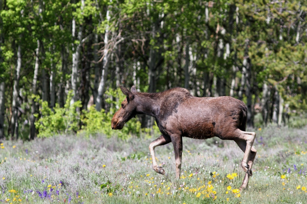 This young moose was released this morning on South Pass after it began roaming around inside Lander. (Stan Harter photo)