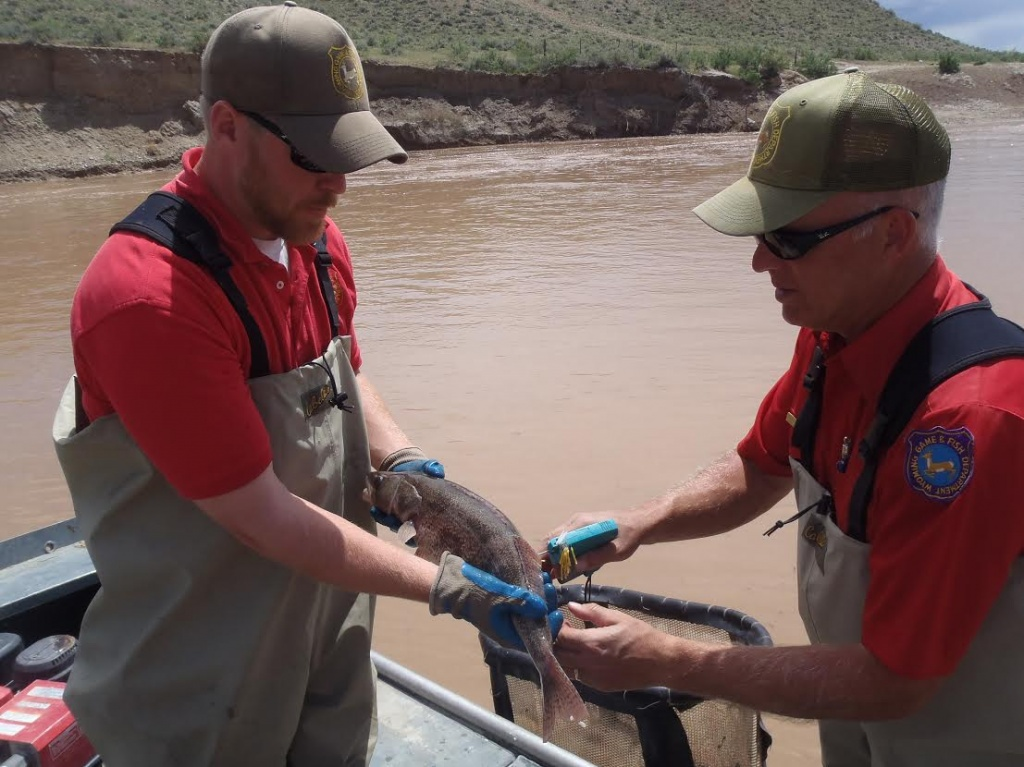 Wyoming Game and Fish Department Fisheries Technician Brain Jeide (left) and Fisheries Supervisor Kevin Johnson tagging a sauger. Photo by Paul Gerrity.