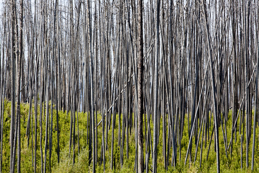Image of burned lodgepole pine forest by MountainHardcore/Shutterstock.com