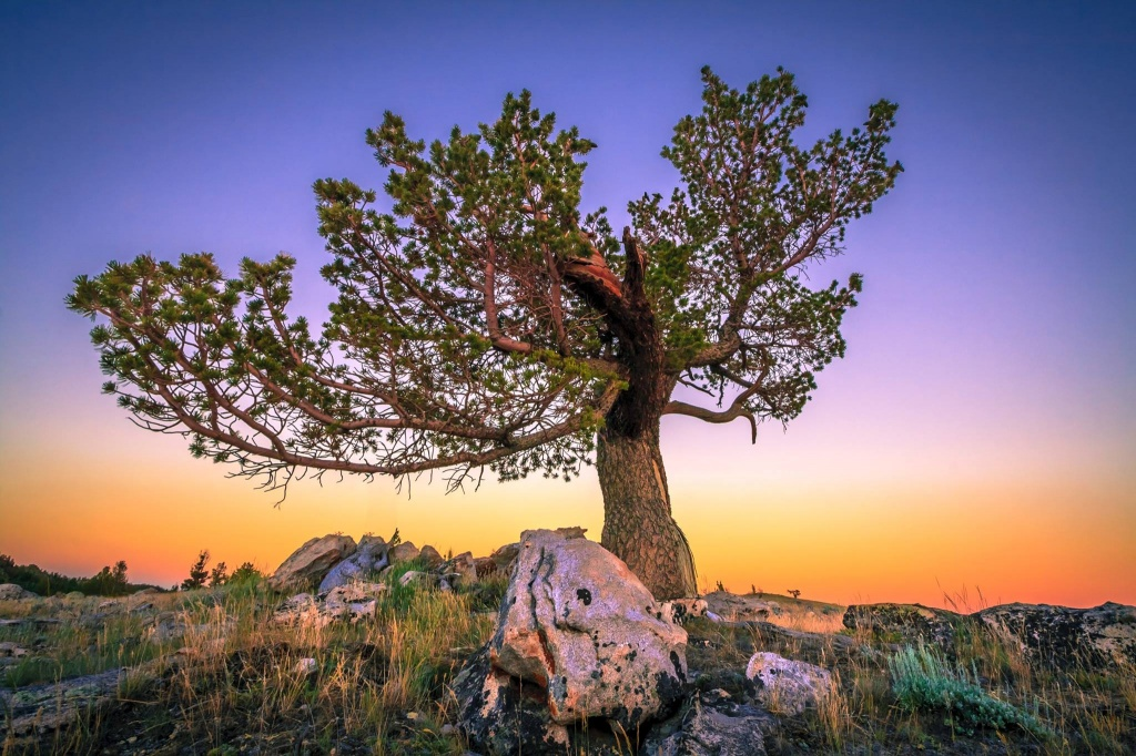 Gina Marie Herbert shared this stunning photo of a bristlecone pine with sunset in the background.
