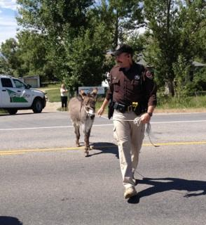 While the Riverton Police has been busy wrangling squirrels, beavers, rabbits and other wildlife, the Fremont County Sheriff's Department was called on to help get a donkey out of trouble earlier today. (David Good photo)