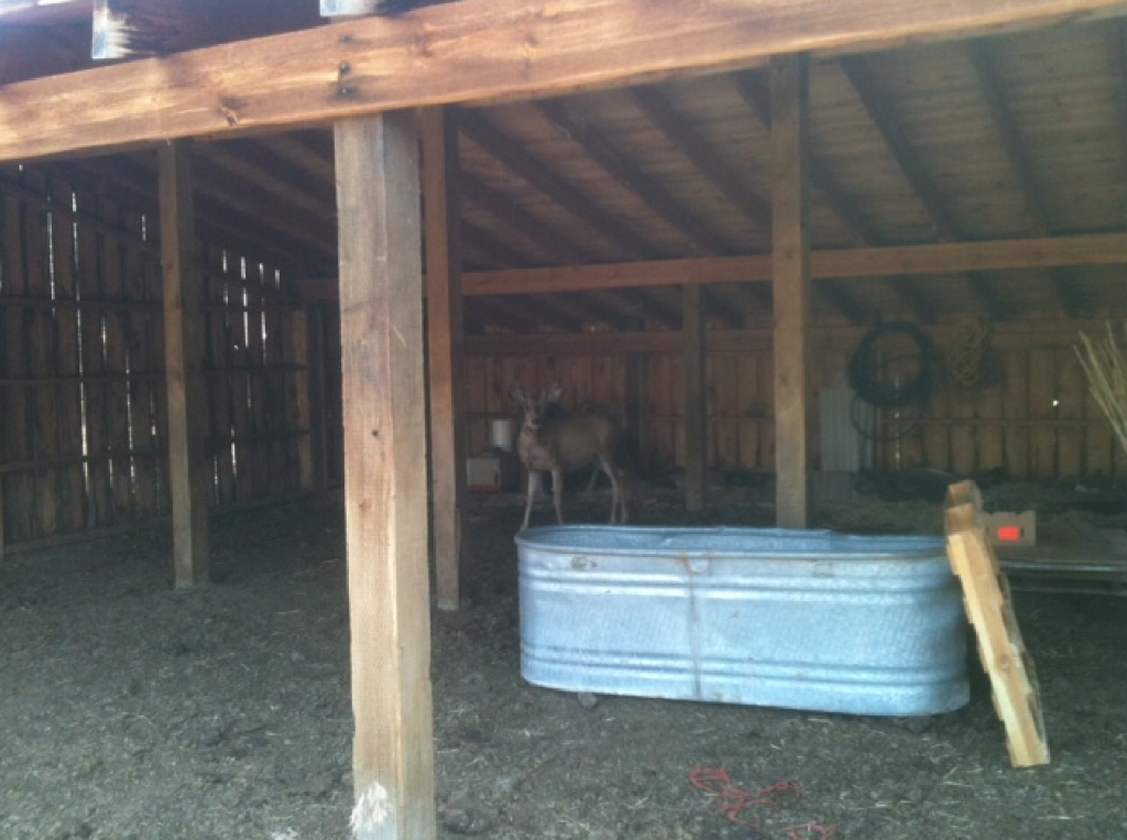 It's hard to tell from this photo, but this deer that hangs around outside of Lander has fibromatosis. Photo provided.