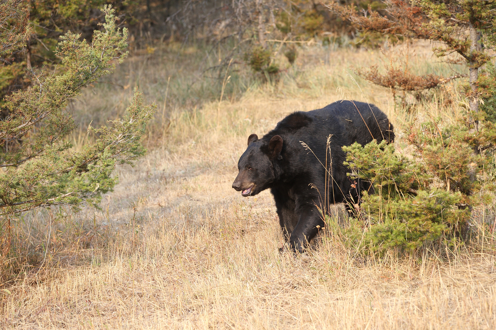 Tonight's fireside chat at Sinks Canyon State Park is all about bears. Get the details below. Photo by  Dennis Donohue/Shutterstock.