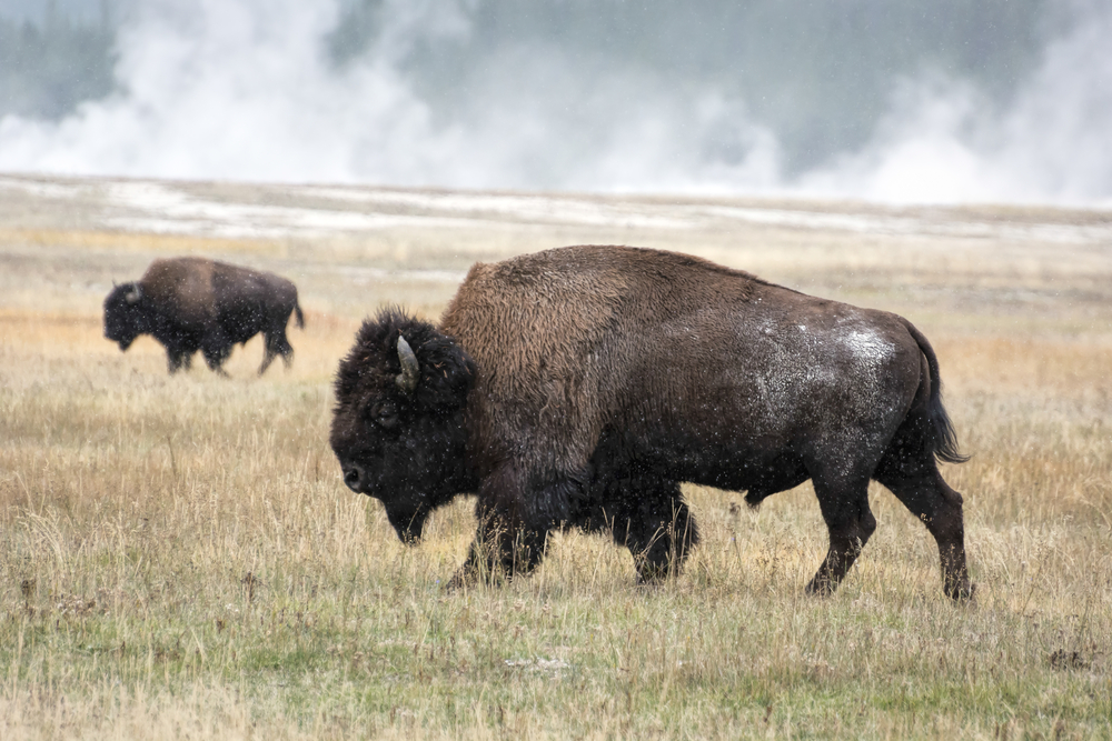 Wyoming Bison. (Phillip Bird/Shutterstock)