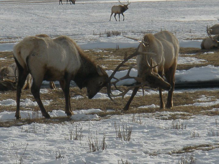 Elk at the National Elk Refuge near Jackson.