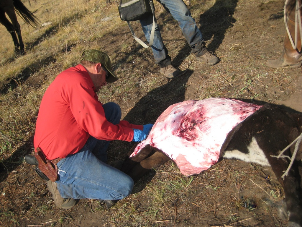 Brian DeBolt assess damage to cattle in the Wiggins Fork drainage. Photo provided by Wyoming Game & Fish.