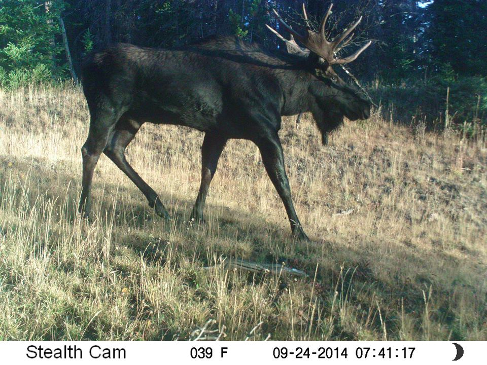Robert Ziegler's trail cam caught this image of a bull moose with debris entangled in its antlers. Residents are reminded to be wary of moose who may wander into residential areas during the fall rut.