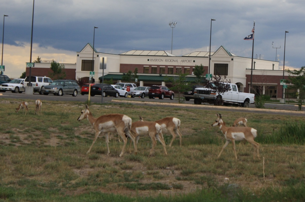 Antelope gathered and grazed at Riverton Regional Airport. How did they know it was hunting season? (Photo by Ernie Over)