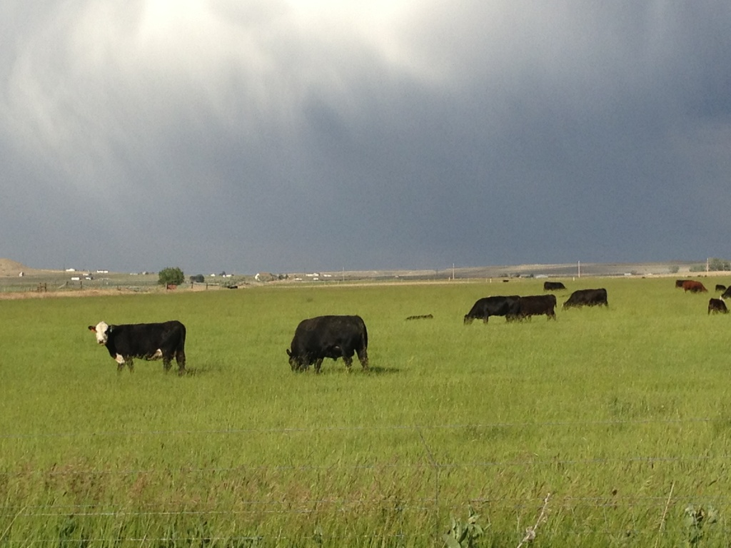 Cattle in a field alongside Eight Mile Road NW of Riverton. (Ernie Over photo)