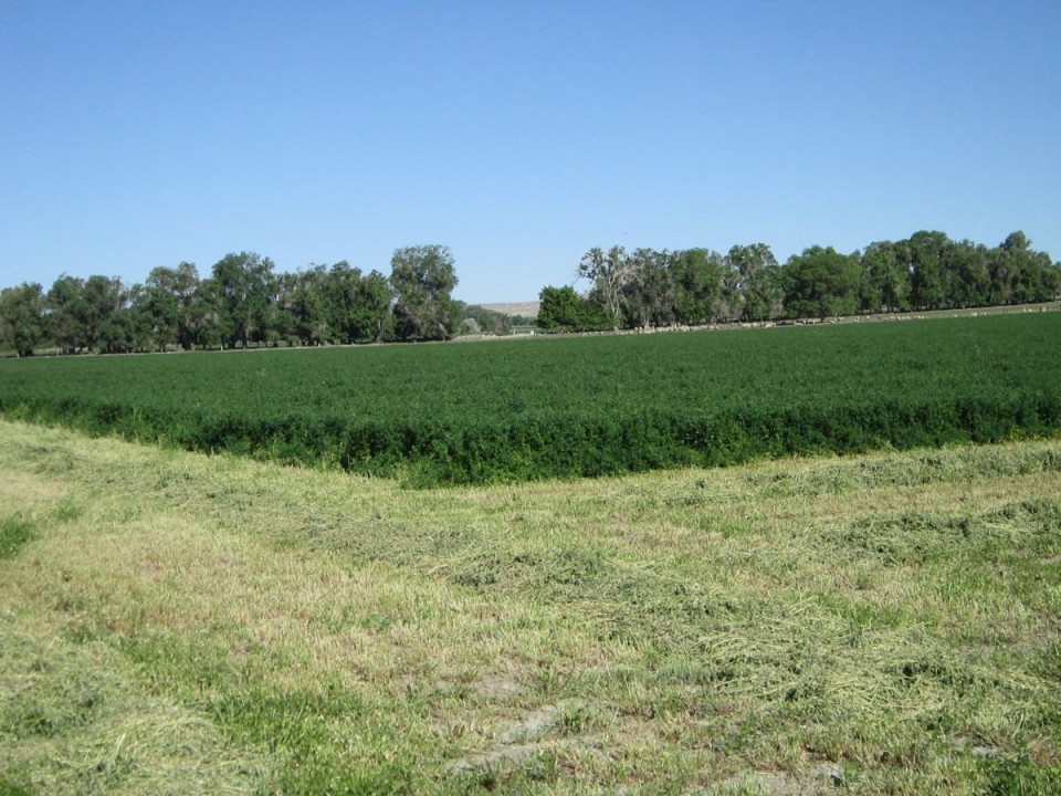 An alfalfa field in Paradise Valley north of Riverton.