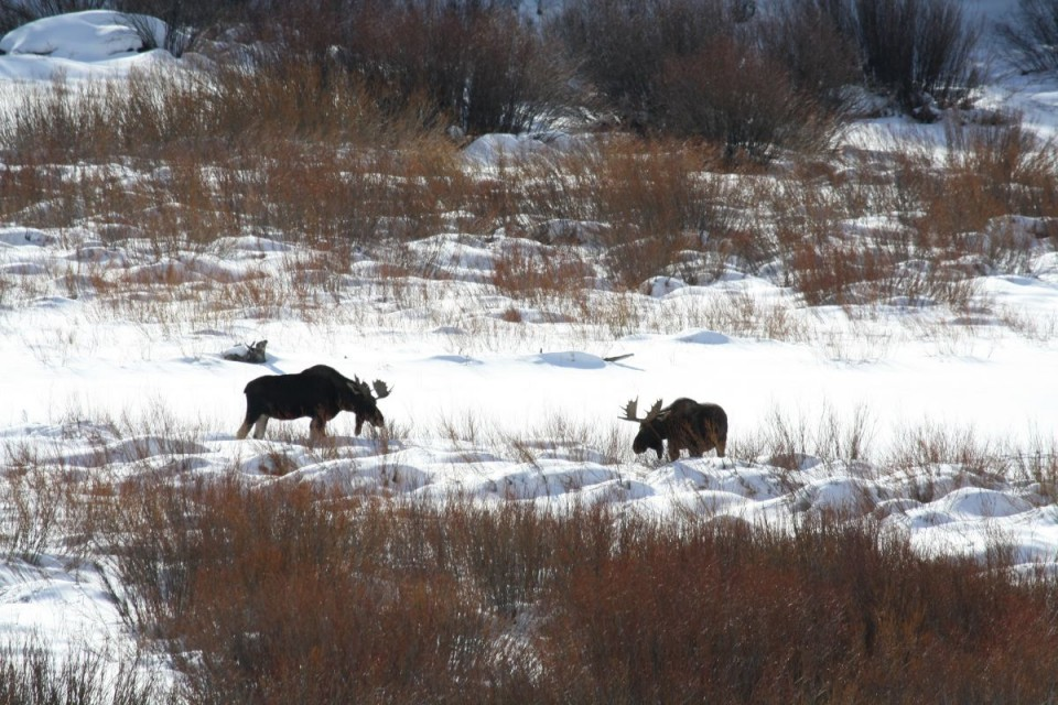 Lydia Bird took this great photo of two bull moose near Dubois.